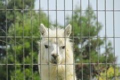 Lama nello zoo di Cuzco Fotografia Stock