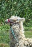 Lama nello zoo di Cuzco Fotografie Stock