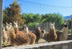 Lama nello zoo di Cuzco Fotografia Stock Libera da Diritti