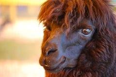 Lama nero con i lotti di Shaggy Fur Immagini Stock