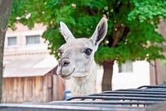 Lama no jardim zoológico Fotografia de Stock Royalty Free