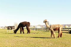 Lama no país de Amish imagens de stock