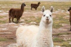 Lama no selvagem nos Andes imagem de stock royalty free