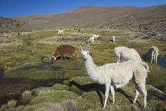 Lama och Alpaca på Altiplanoen av nordliga Chile Fotografering för Bildbyråer