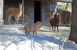Lama och capybara i Moskvazoo Fotografering för Bildbyråer
