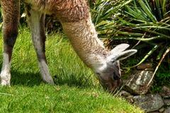 Lama od Machu Picchu easting trawy Zdjęcia Stock