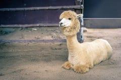Lama oder Alpaka Vicugna pacos, Fotografie eines vollen Körperlichtes lizenzfreie stockfotos