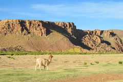 Lama op altiplano stock afbeeldingen