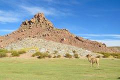 Lama op altiplano royalty-vrije stock foto's