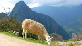 Lama op de weg van Machu Picchu Peru stock video