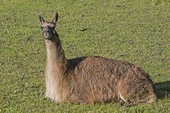Lama op groene weide royalty-vrije stock fotografie
