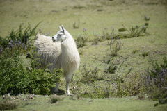 Lama op het gebied Royalty-vrije Stock Foto