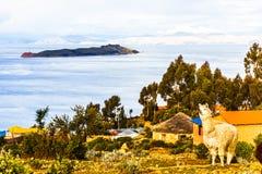 Lama op isla del Sol door Meer Titicaca - Bolivië Royalty-vrije Stock Foto's