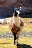Lama op zwarte laguna stock afbeeldingen