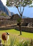 Lama in oude ruïnes Royalty-vrije Stock Afbeeldingen