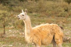 Lama out in the nature portrait Royalty Free Stock Photography