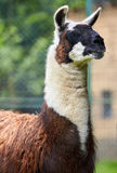Lama outdoor Stock Photography