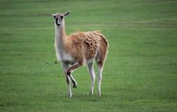 Lama. Outdoors nibbling the green grass Royalty Free Stock Photos