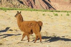 Lama på altiplano Arkivfoton
