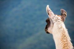 Lama på bergbakgrund i Peru Fotografering för Bildbyråer