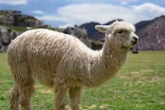 Lama på den Saqsaywaman incaplatsen Cusco peru arkivfoton