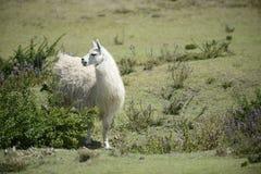 Lama på fältet Royaltyfri Foto