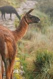 Lama på Inca Trail royaltyfria bilder