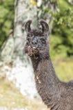 Lama på lunch Fotografering för Bildbyråer