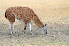 Lama på naturen Arkivbilder