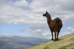 Lama på fältet Royaltyfria Bilder