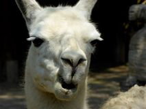 A lama pacos's funny look. A white and cute lama pacos's funny face shot ,Alpaca, at Shanghai wild animal park China on a sunny day Stock Images