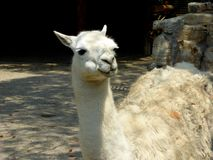A lama pacos standing and thinking Royalty Free Stock Images