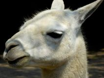 A lama pacos's side face Stock Images