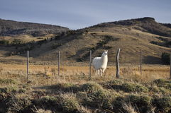 Lama patagonian Fotografie Stock