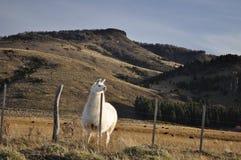 Lama patagonian Fotografia Stock