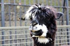 Lama pelosa allo zoo Fotografia Stock Libera da Diritti