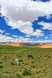 Lama in perù Royalty Free Stock Photos