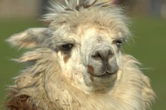 Lama perfect supermodel Royalty Free Stock Images