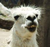 Lama Peru Stockbild