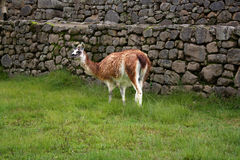 Lama in Peru Stock Images