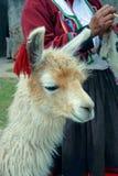 Lama peruano Imagens de Stock