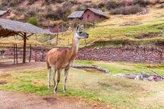 Lama peruviano.  Fotografia Stock Libera da Diritti