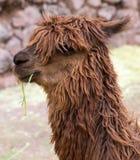 Lama peruviano. Azienda agricola del lama, alpaga, vigogna nel Perù, Sudamerica. Animale andino. Immagine Stock
