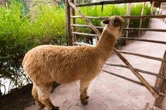 Lama peruviano. Azienda agricola del lama, alpaga, vigogna nel Perù, Sudamerica. Animale andino. Fotografie Stock Libere da Diritti