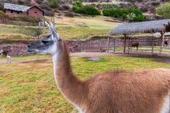 Lama peruviano. Azienda agricola del lama, alpaga, vigogna nel Perù, Sudamerica. Animale andino Immagine Stock Libera da Diritti