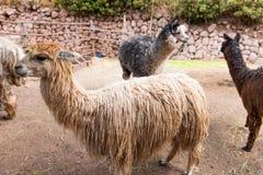 Lama peruviano. Azienda agricola del lama, alpaga, vigogna nel Perù, Sudamerica. Animale andino. Fotografia Stock