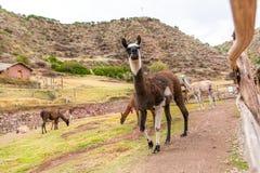 Lama peruviano. Azienda agricola del lama, alpaga, vigogna nel Perù, Sudamerica. Animale andino. Fotografie Stock