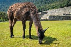 Lama peruviano di Brown che pasce immagine stock