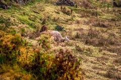 Lama peruviano vicino alle rovine di Sacsayhuaman Fotografia Stock