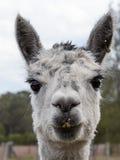 Lama. Photo taken Scenic Rim Queensland Australia Royalty Free Stock Image